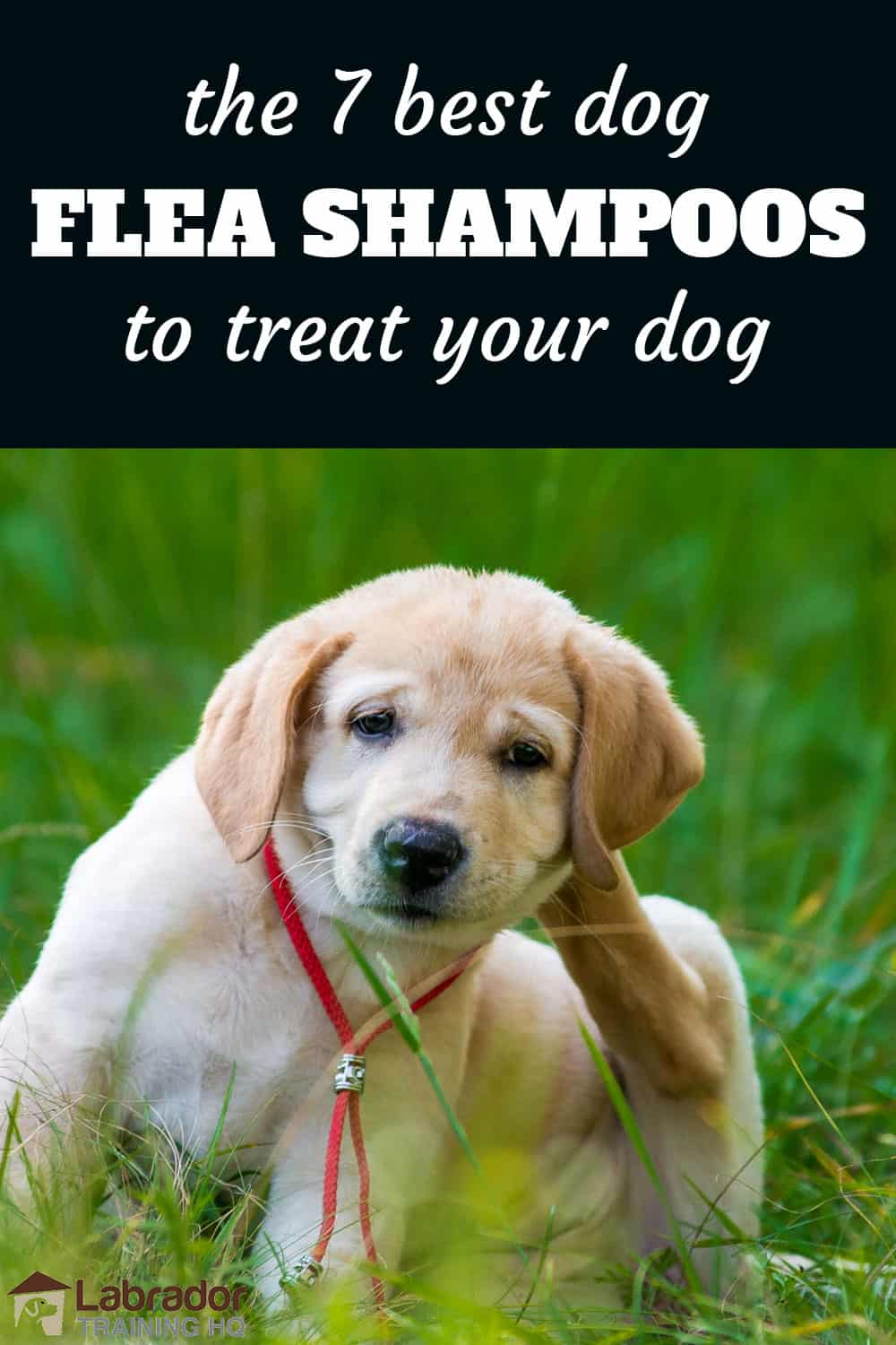 Best Flea Shampoos For Dogs - Yellow Labrador Retriever puppy scratching behind his ear.