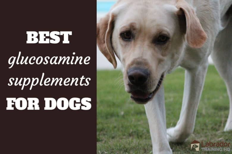 Best Glucosamine Supplements For Dogs - Older yellow Labrador Retriever walking on grass towards the camera
