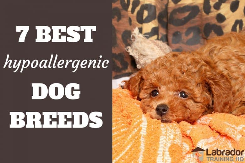 7 Best Hypoallergenic Dog Breeds - Red Poodle puppy taking a break on yellow towel.