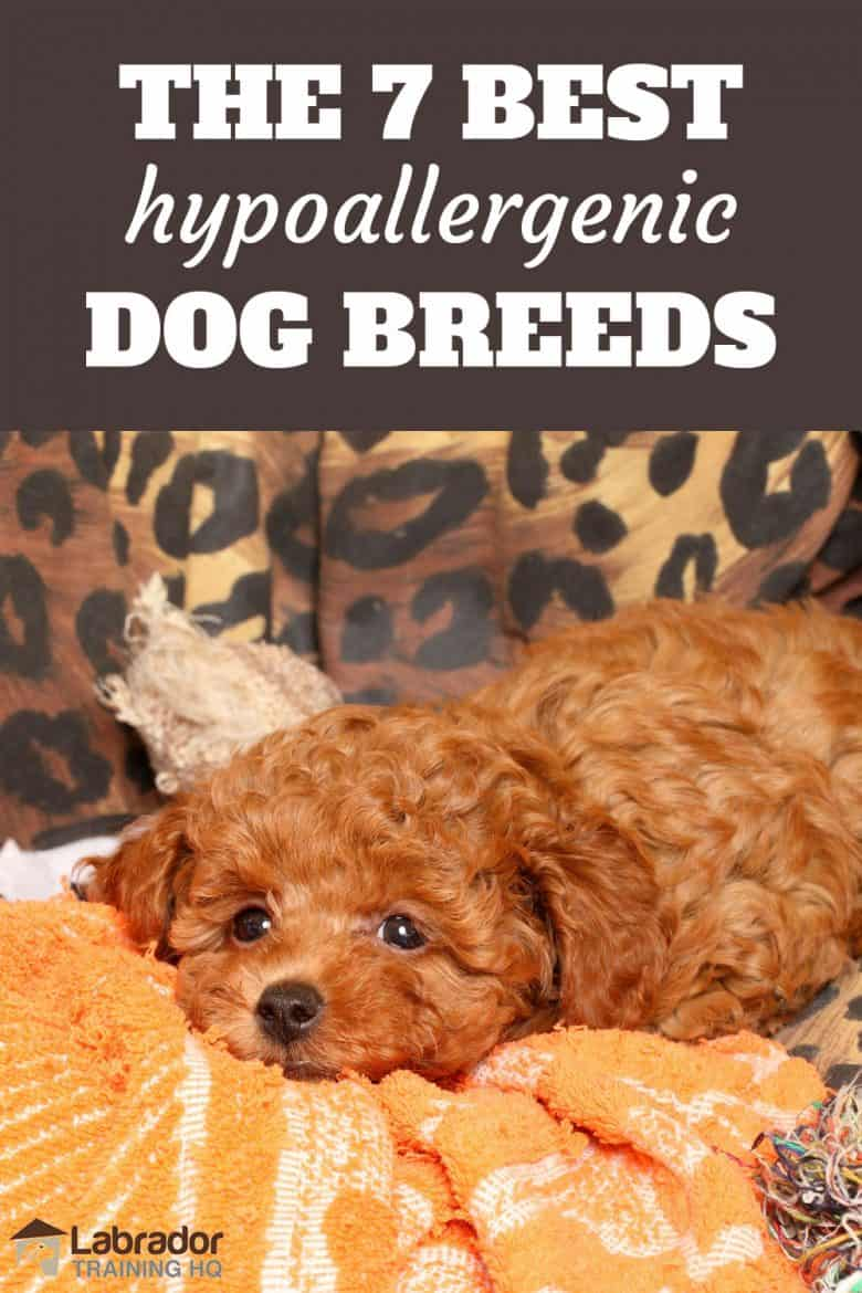 The 7 Best Hypoallergenic Dog Breeds - Red Poodle resting on yellow towel.