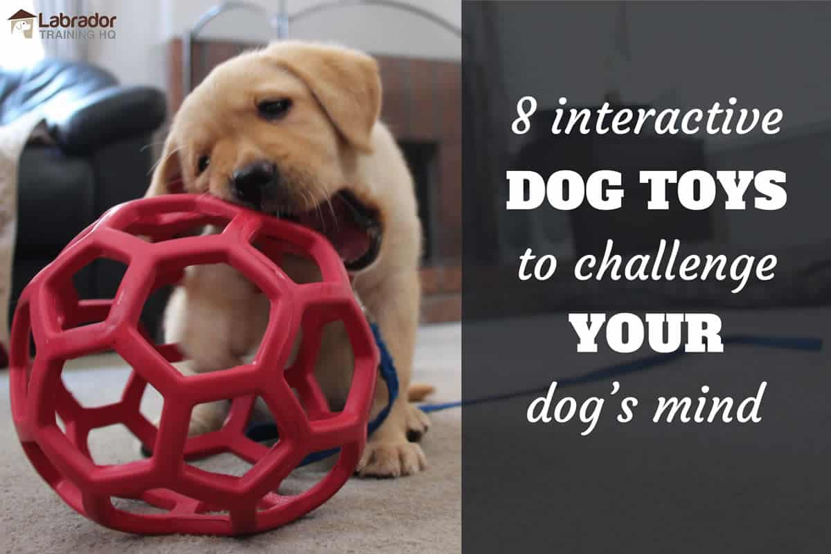 Yellow Lab puppy chewing on red honeycomb ball - 8 best interactive dog toys to challenge you dog's mind.