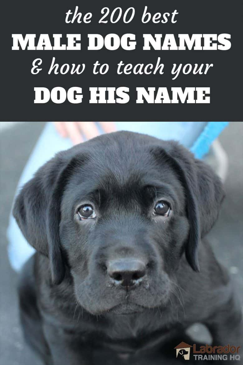 The 200 Best Male Dog Names and How To Teach Your Dog His Name - Black Labrador Retriever puppy looking at you with puppy dog eyes.