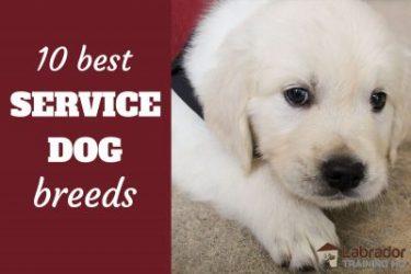 10 Best Service Dog Breeds