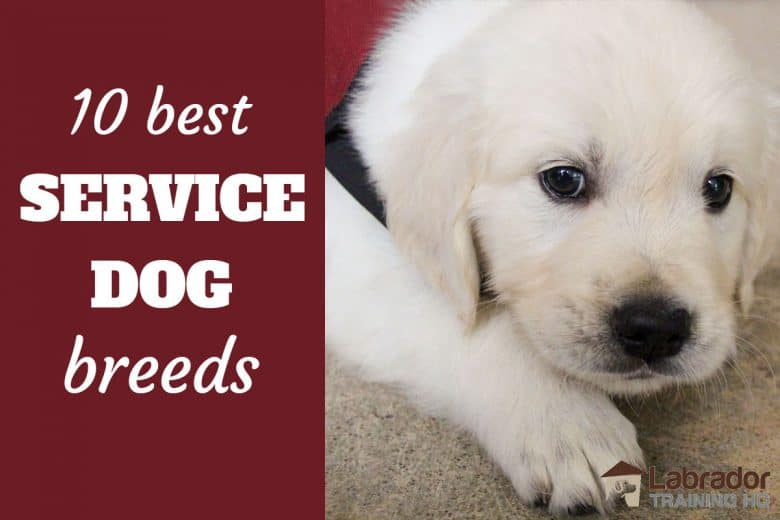10 Best Service Dog Breeds - White Puppy wearing a service dog jacket lying on the floor.