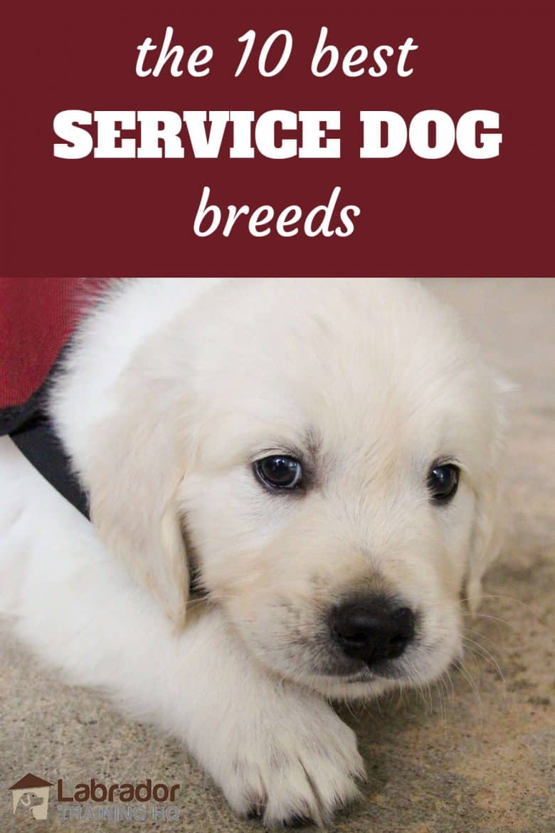 The 10 Best Service Dog Breeds - White puppy wearing service dog jacket lying on the floor.
