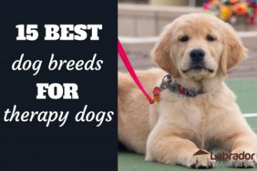 15 Best Dog Breeds For Therapy Dogs
