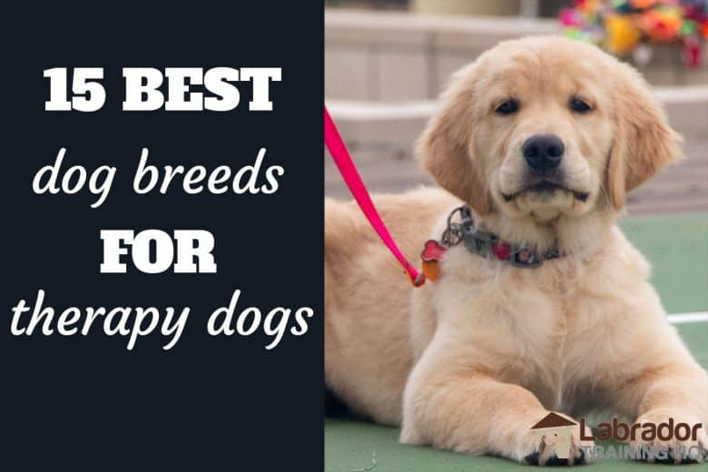 15 Best Dog Breeds For Therapy Dogs - Golden Retriever puppy id a down-stay waiting for what's next.