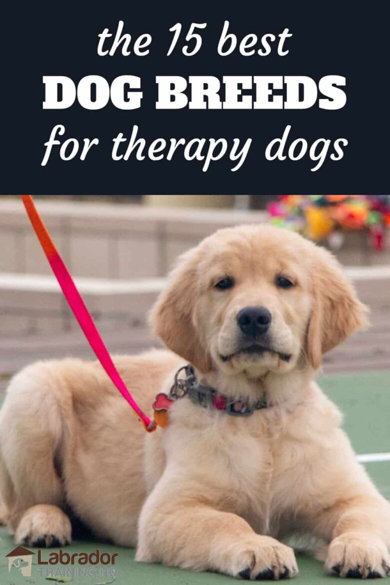 The 15 Best Dog Breeds For Therapy Dogs - Golden Retriever puppy in a down-stay with red loose leash. Good boy!