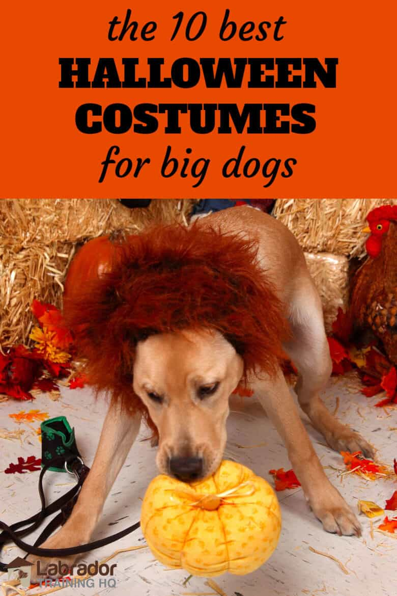The 10 Best Halloween Costumes For Big Dogs - Yellow Lab wearing lions mane Halloween dog costume holding plush pumpkin in his mouth.