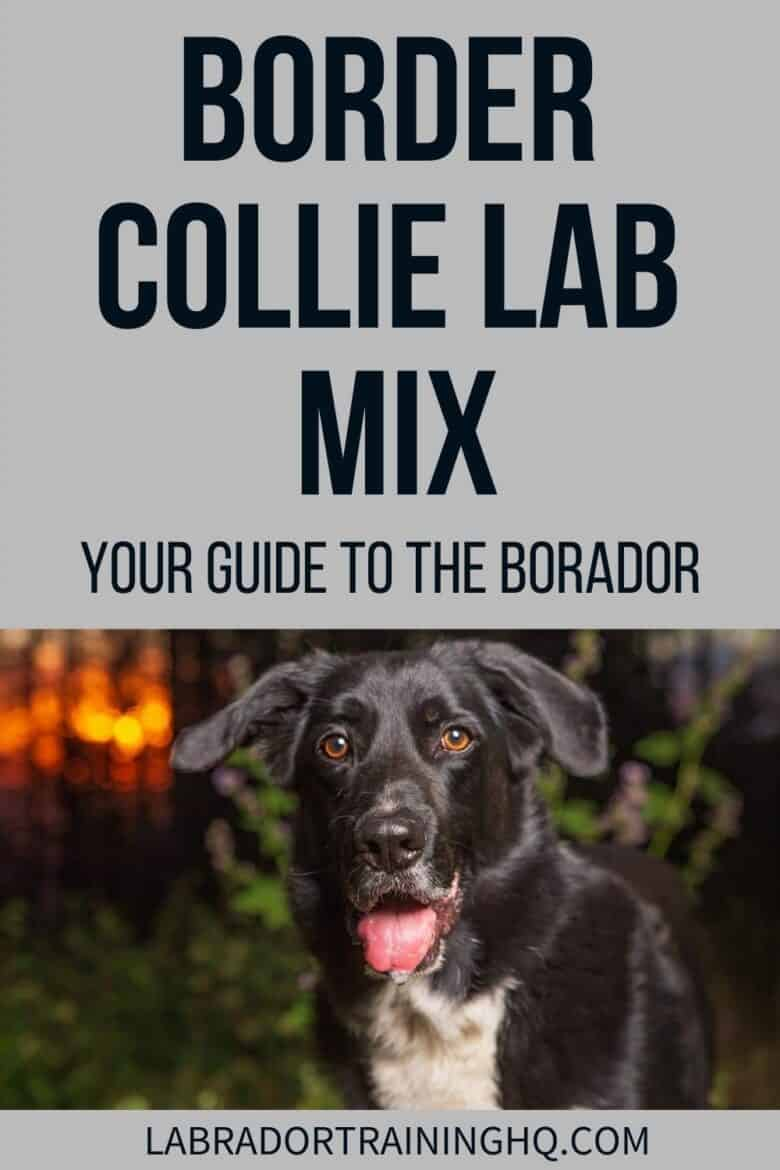 Border Collie Lab Mix - Your Guide To The Borador - The border collie Lab mix, a.k.a borador, is a highly intelligent and eager-to-please dog that is best suited for active people and families with children.
