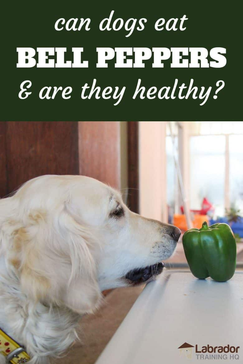 Can Dogs Eat Bell Peppers And Are They Healthy? - Golden Retriever staring down green bell pepper sitting on a table.