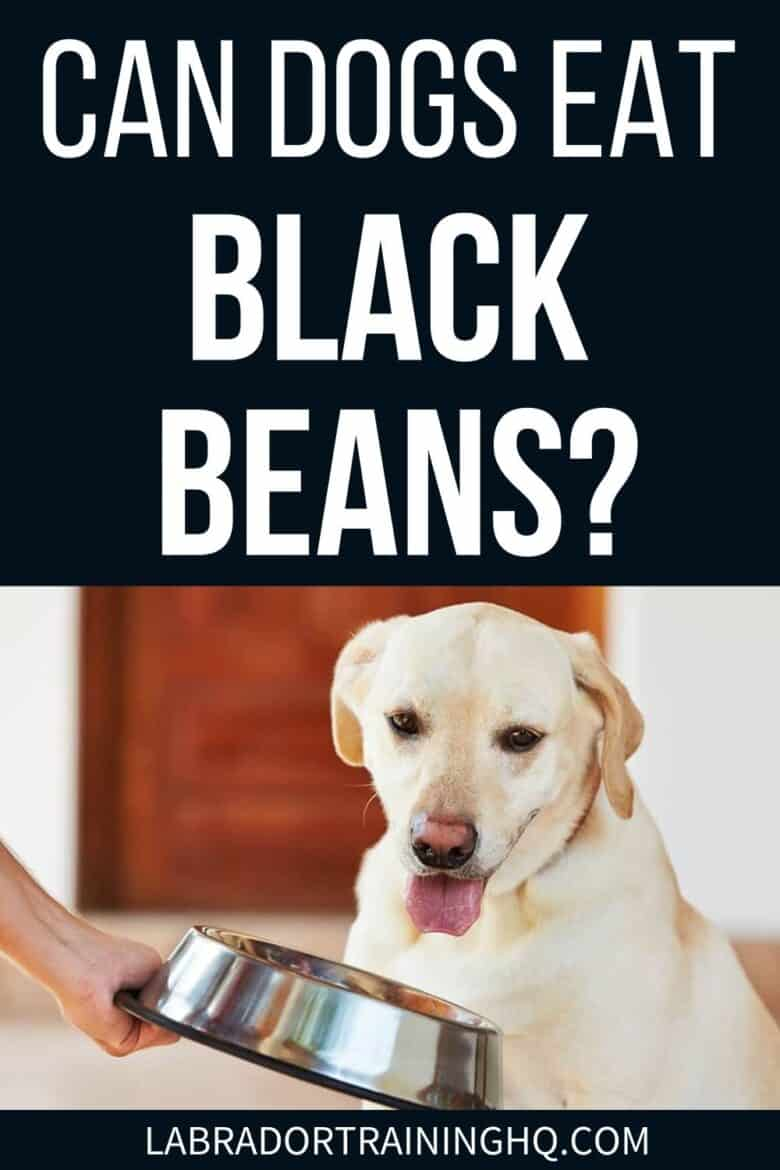 Can Dogs Eat Black Beans? - Yellow Labrador Retriever staring at a bowl of food - Can dogs eat black beans? Your dog's dietary needs are a bit different from yours, but black beans can form part of a healthy and balanced diet for dogs.