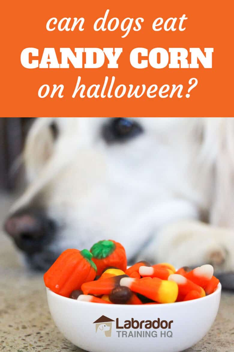 Can Dogs Eat Candy Corn On Halloween? - Bowl of assorted candy corn including regular, pumpkin and spooky with white dog in background.