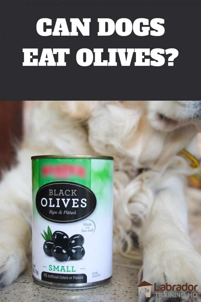 Can Dogs Eat Olives? - Can of black olives sitting in between Golden Retrievers paws.