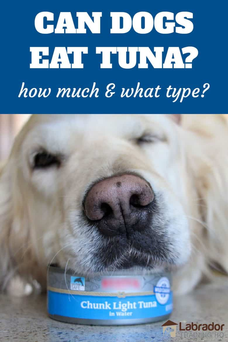 Can Dogs Eat Tuna? How Much & What Type? Golden Retriever lays head on top of a can of chunk light tuna.