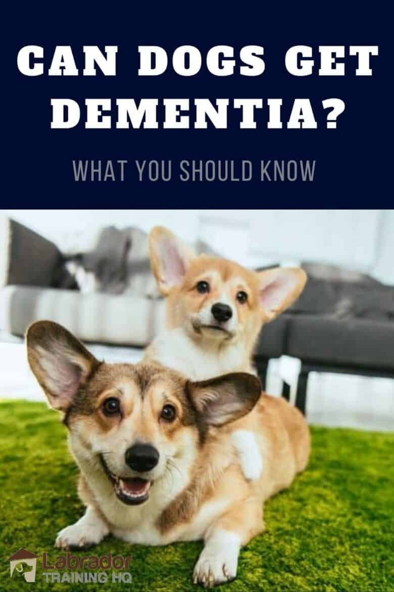 Can Dogs Get Dementia? - What You Should Know - Two Corgis down on a green carpet.