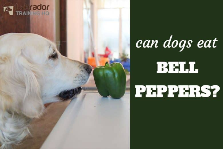 Can Dogs Eat Bell Peppers? - Golden Retriever debating whether she should eat the green bell pepper sitting on the table.