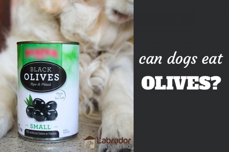 Can Dogs Eat Olives? - Can of black olives sits in front of Golden Retrievers between legs.