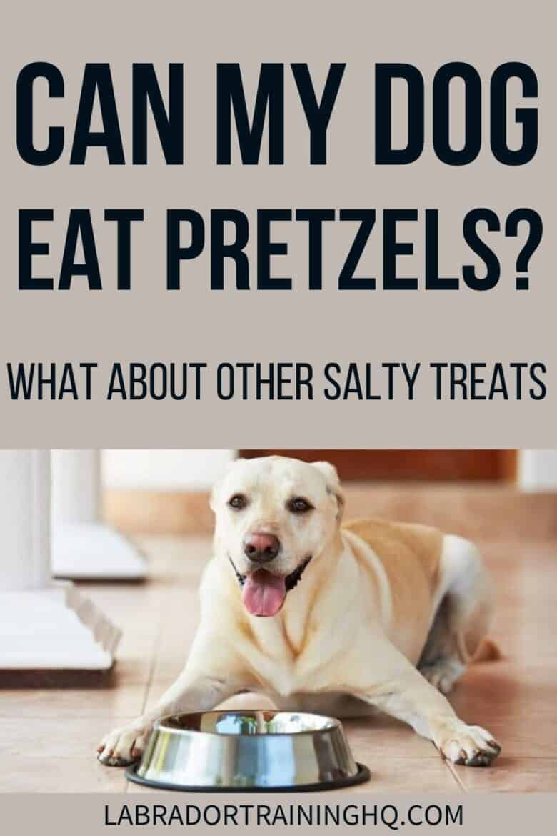 Can My Dog Eat Pretzels? What About Other Salty Treats? - Yellow Lab down next to his bowl waiting for food.
