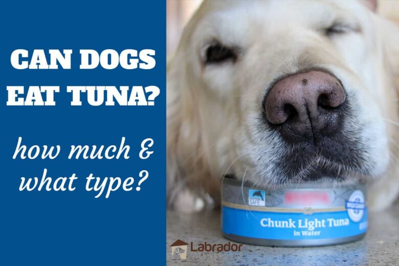 Can Dogs Eat Tuna? How Much & What Type? - Golden Retriever has his head on top of can of tuna.