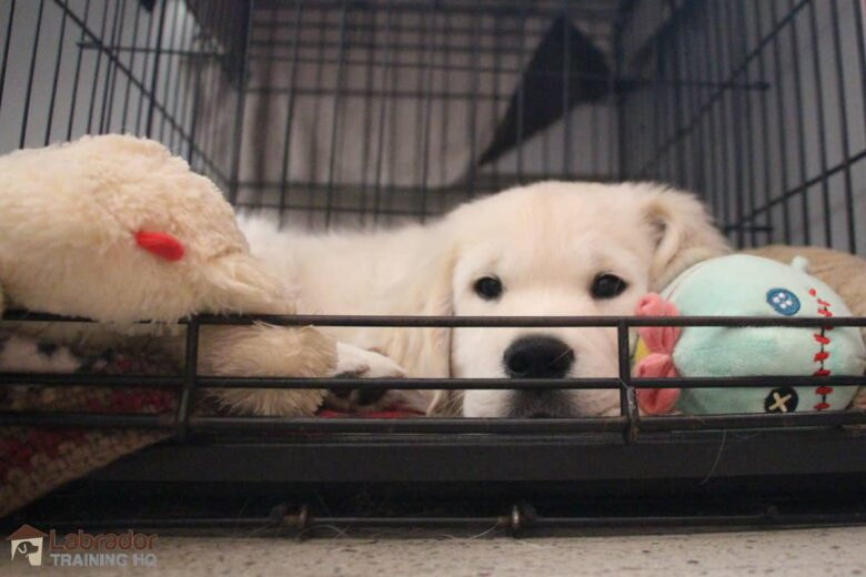 Extending Your Puppy's Time In The Crate - Yellow Golden Retriever puppy laying down in crate with his stuffed toys.