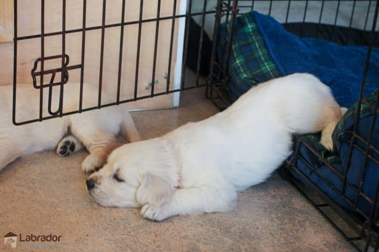 How To Crate Train A Puppy - White Golden Retriever puppy lies half inside and half outside of his crate.