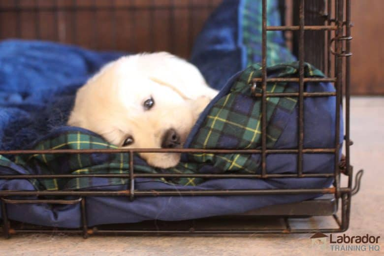 How To Crate Train A Puppy At Night - White Golden Retriever puppy lying on his blue dog bed inside his crate.