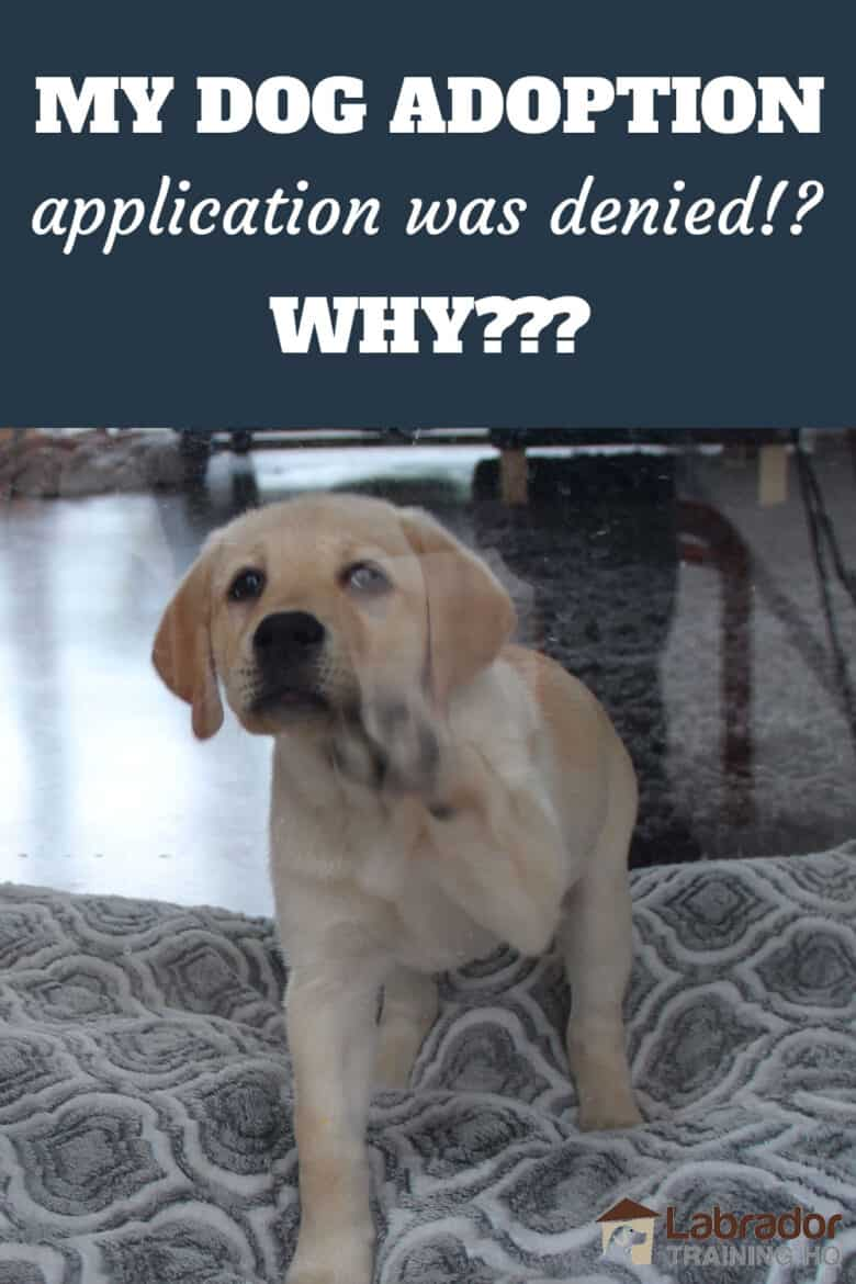 My Dog Adoption Application Was Denied!? Why??? - Yellow Labrador Retriever puppy standing on dog bed tapping window with her paw.