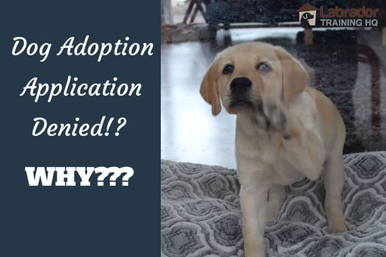 Dog Adoption Application Denied!? Why??? - Yellow Lab tapping his paw on the window.