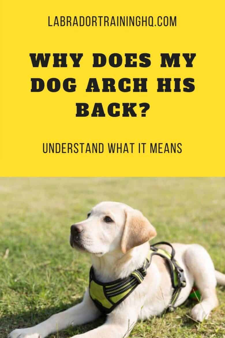 Why Does My Dog Arch His Back? Understand What It Means - Yellow Lab puppy down-stay in the grass wearing a yellow harness
