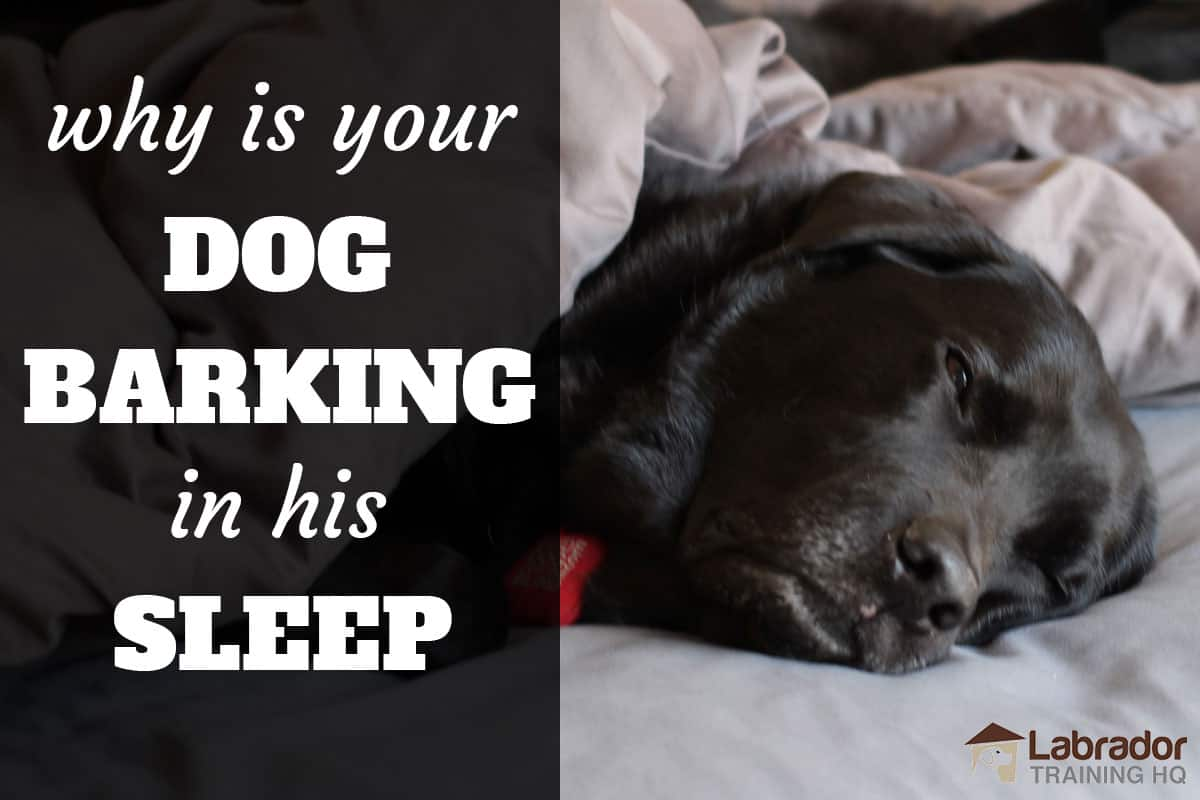 Why is your dog barking in his sleep? - black lab sleeping in bed