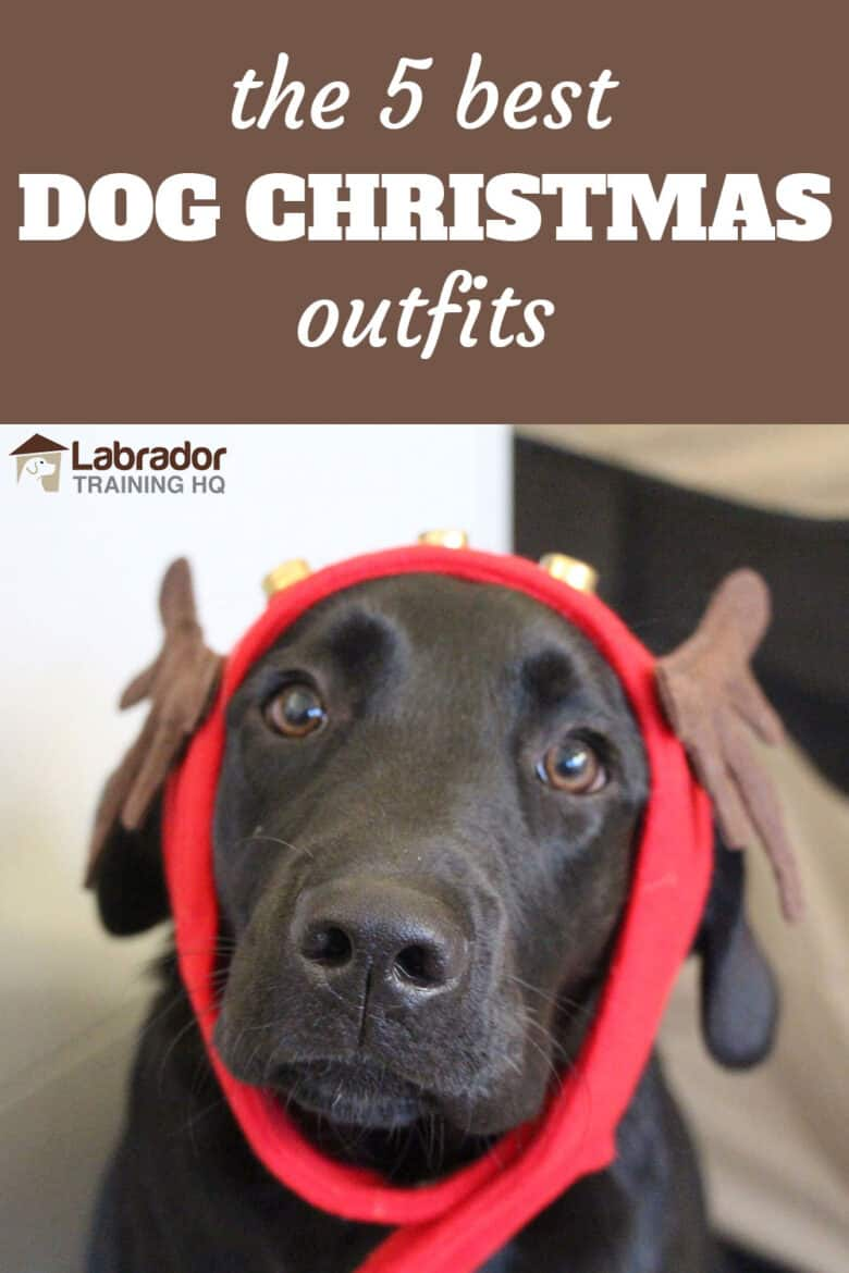 The 5 Best Dog Christmas Outfits - Black Labrador Retriever puppy wearing reindeer ears.