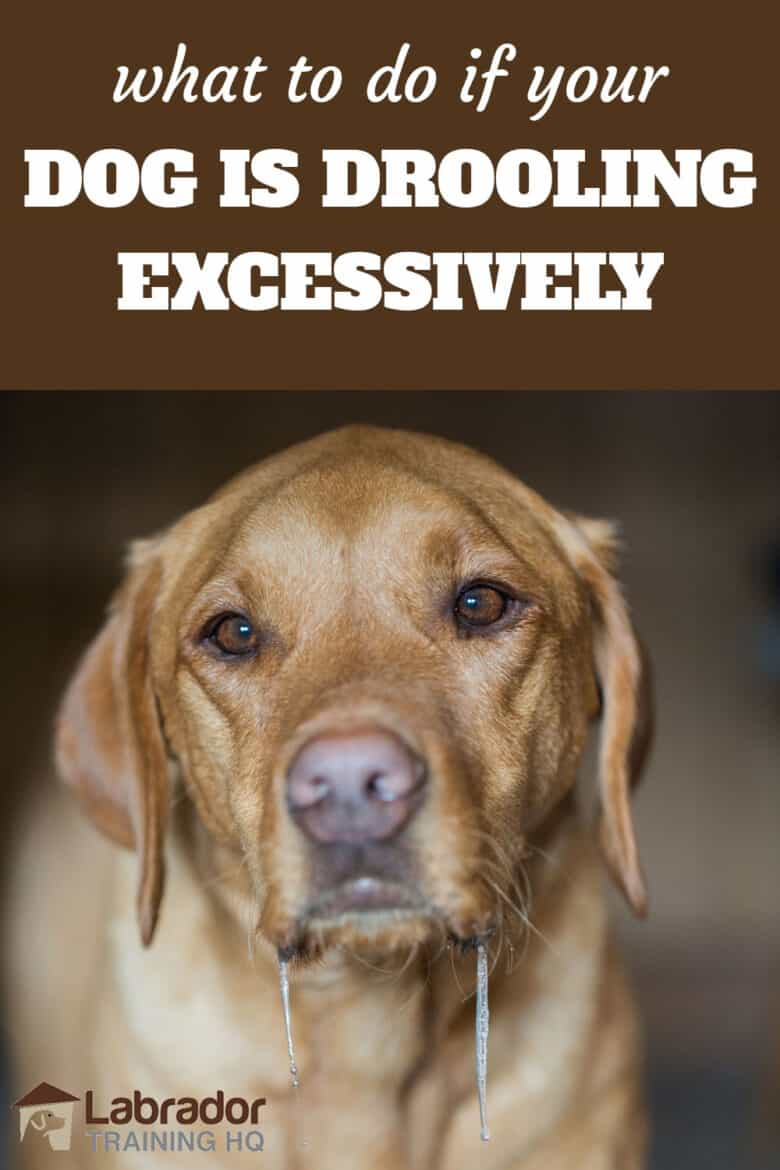 What To Do If Your Dog Is Drooling Excessively - Yellow Labrador Retriever drooling.