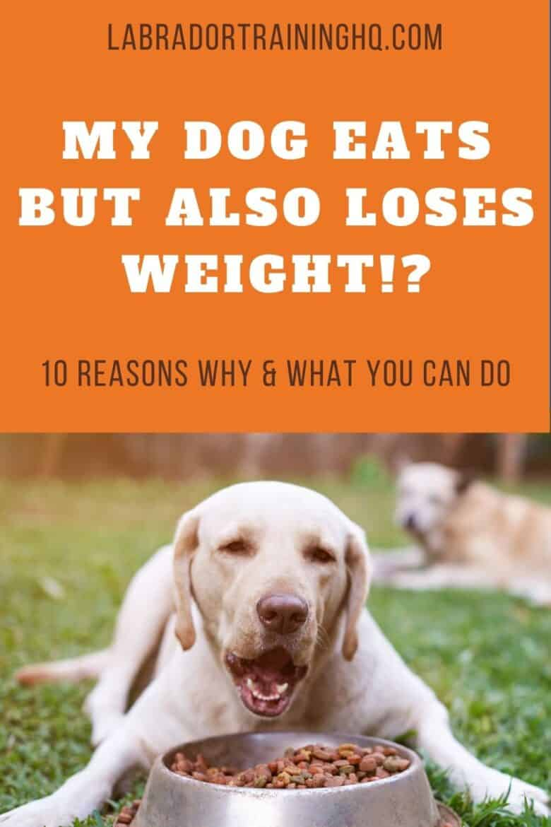 My Dog Eats But Also Loses Weight!? - 10 Reasons Why & What You Can Do - Yellow Labrador Retriever lying on ground with his bowl of food.