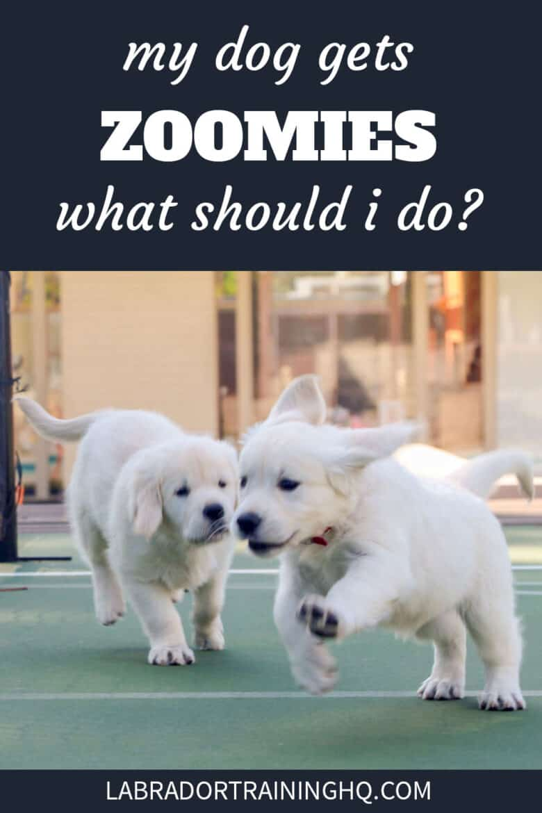 My Dog Gets Zoomies, What Should I Do? - Two Golden Retriever puppies running around on a tennis court.