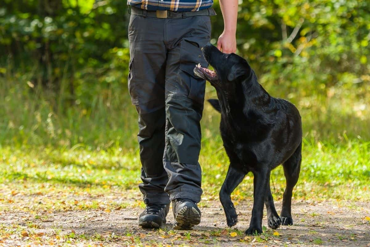 """What Does """"Heel"""" Mean When Training Your Dog? - LabradorTrainingHQ"""