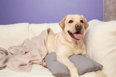 How Do I Stop My Lab From Jumping On My Couch?