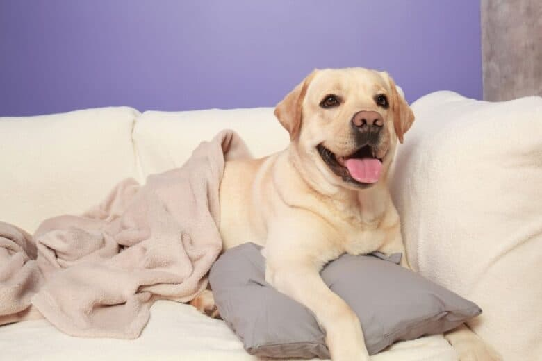 Yellow Lab lying on the couch with blanket and pillow.