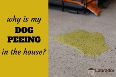 Why Is My Dog Peeing In The House? What Should I Do?