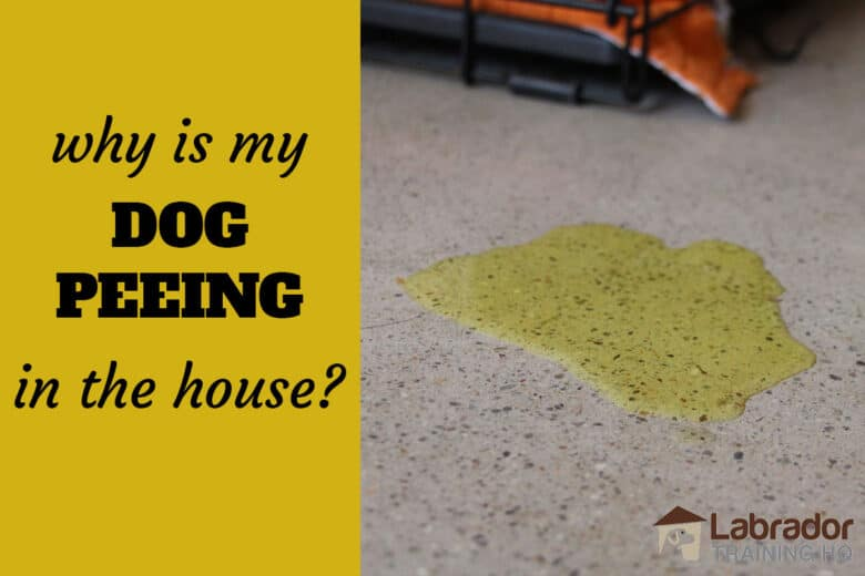 Why Is My Dog Peeing In The House? - Pee spot on the concrete floors with edge of crate and orange blanket nearby.
