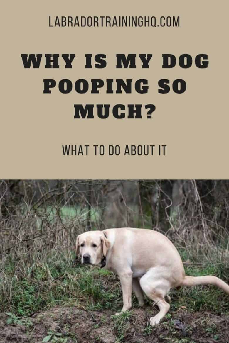 Why Is My Dog Pooping So Much? - What To Do About It - Yellow Lab pooping in the woods.