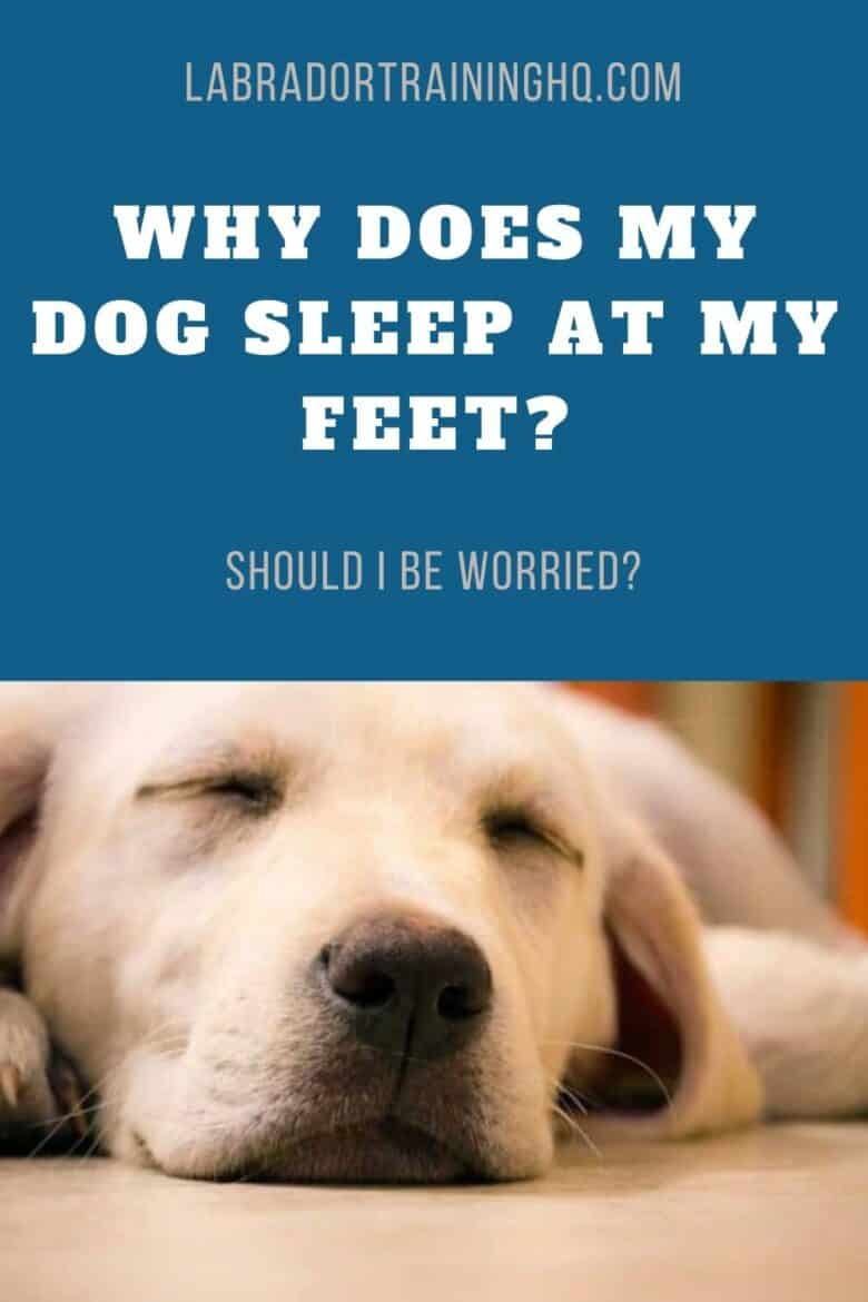 Why Does My Dog Sleep At My Feet? Should I Be Worried? - Yellow Lab peacefully sleeping on the floor.