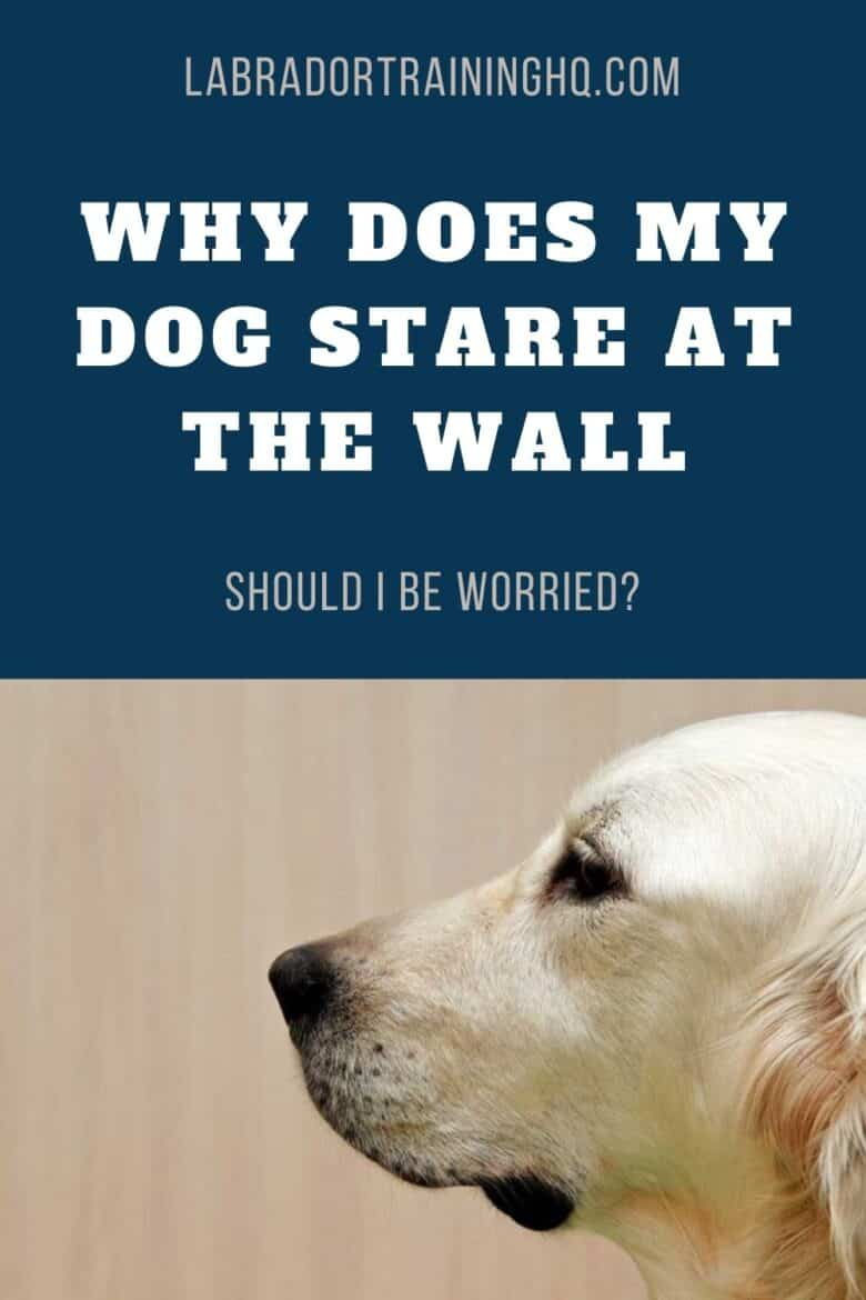 Why Does My Dog Stare At The Wall? - Yellow Dog staring at the wall.