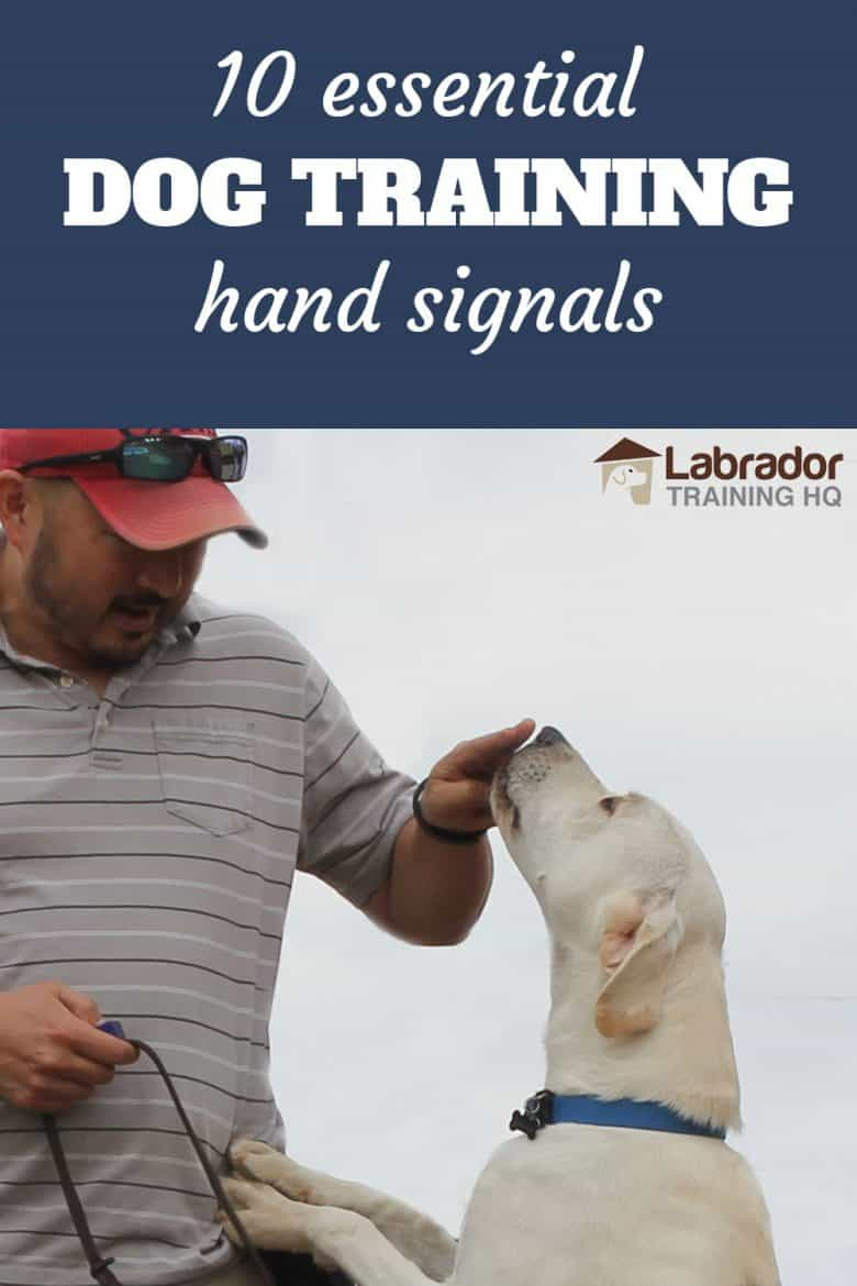 10 Essential Dog Training Hand Signals - Yellow Labrador Retriever jumps up to touch fingers.