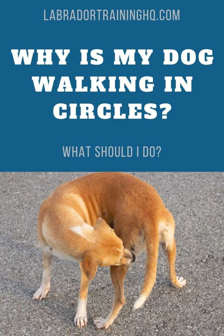 Why Is My Dog Walking In Circles? - Labrador mix circling on the street