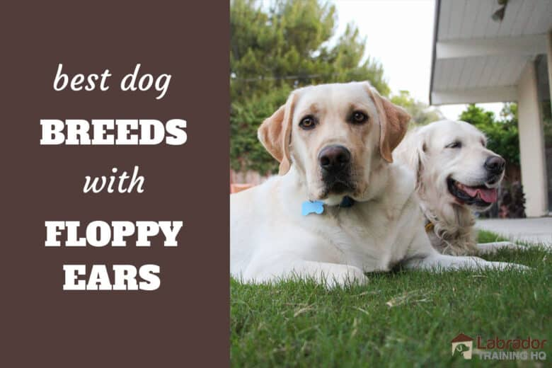 Best Dog Breeds With Floppy Ears - Yellow Labrador Retriever and Golden Retriever lying down in the grass side by side.