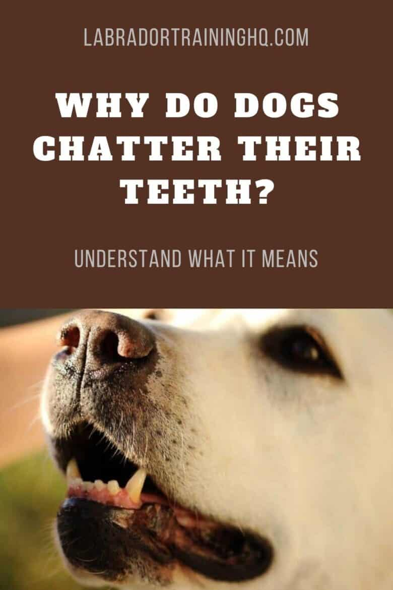 Why Do Dogs Chatter Their Teeth? Understand What It Means - Closeup of older yellow Lab's teeth, mouth, nose, and muzzle.