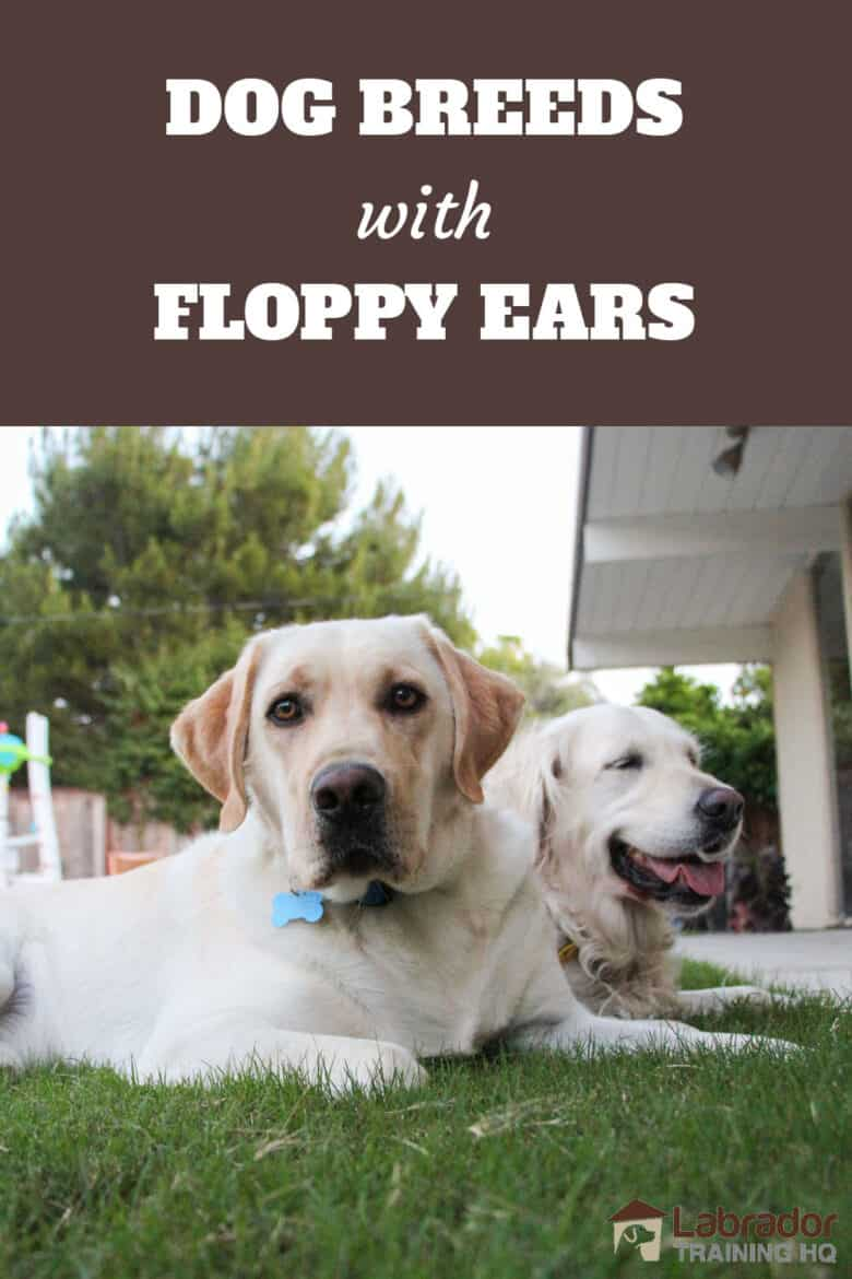 Dog Breeds With Floppy Ears - Yellow Lab and Golden Retriever laying down in the grass.