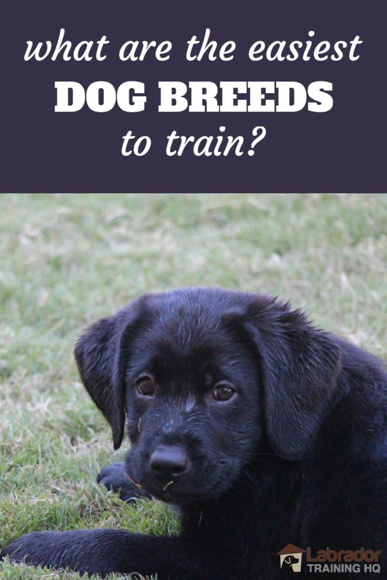What Are The Easiest Dog Breeds To Train? - #1 on our list is the Labrador Retriever pictured here is our black Lab puppy with a wet face from swimming in the pool