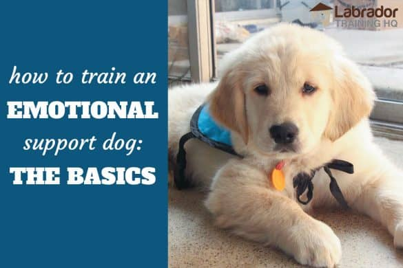 How to train an emotional support dog: the basics - Golden Retriever puppy in a down-stay wearing light blue training vest